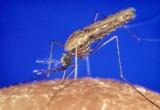 Zanzare geneticamente modificate che generano solo maschi