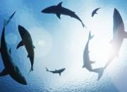 Anche gli squali vanno all'asilo