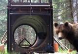 Sorvegliato speciale: un orso con la scorta