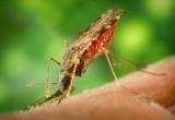 Batteri alle zanzare contro la malaria