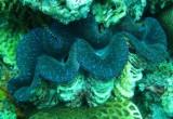 Le conchiglie giganti sono serre per le alghe