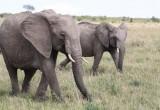 Elefanti percepiscono nubifragi a quasi 250 km
