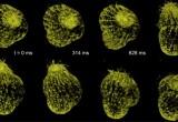 Nuovo microscopio crea filmati 3-D di cellule viventi