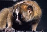 Lo slow loris potrebbe essersi evoluto per mimare i cobra