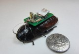 Scarafaggi cyborg per le vittime dei disastri
