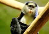 Anche le scimmie parlano in dialetto