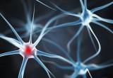 Scienziati italiani scoprono due molecole coinvolte nella degenerazione dei nervi