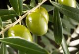 L'olio d'oliva fa bene al diabete: i vantaggi dell'oleuropeina