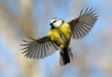 Gli uccelli riconoscono i 'parenti' dall'odore