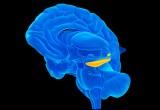 Scoperto il gene della forma dell'ippocampo
