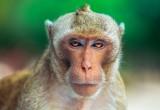 Zika: il virus colpisce anche le scimmie