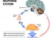 COVID-19: mortalità più alta con livelli di cortisolo elevati