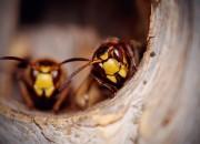 Api e vespe letali come ragni e serpenti