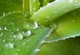 Contraccezione d'emergenza: una possibile pillola da estratti di piante?