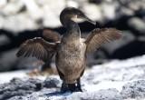 Scoperto perché il cormorano delle Galapagos non può volare