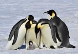 Pinguini reali: a rischio il 70% della specie entro fine secolo