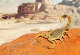Gli scienziati sviluppano una 'mungitrice' per scorpioni finalizzata alla ricerca sulle malattie
