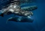 """Cetacei molto simili all'uomo: vivono in comunità, si chiamano per nome e parlano """"in dialetto"""""""