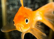 Nel Dna dei pesci rossi si nasconde un piranha