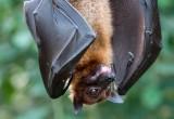 Scoperto l'antenato del pipistrello