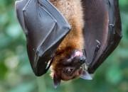 Perché i virus provenienti dai pipistrelli sono così pericolosi per l'uomo?