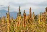 Quinoa: scoperto come resiste ai raggi ultravioletti B