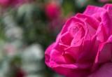 Sboccia la mappa completa del Dna della rosa