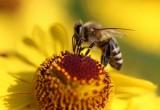 Con l'eclissi totale di Sole le api smettono di ronzare