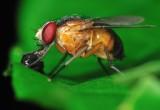 Le infezioni umane si studiano sui moscerini della frutta