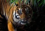 Tigre a rischio estinzione: sono meno di 4.000