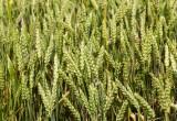 Il pane più antico del mondo risale a 14.400 anni fa