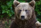 L'orso bruno e l'estinto orso delle caverne hanno il 2% del Dna in comune