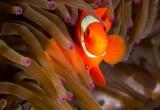 Invecchiamento: studiare il pesce pagliaccio per capirne i meccanismi