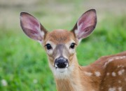 Cambiamenti climatici: a rischio estinzione caprioli, passeri e lepri