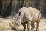 Rinoceronte bianco del Nord: nuovo embrione da fecondazione artificiale