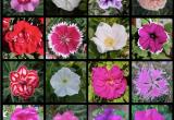 Rose, garofani e petunie: individuata la famiglia di geni che riempie i fiori di petali